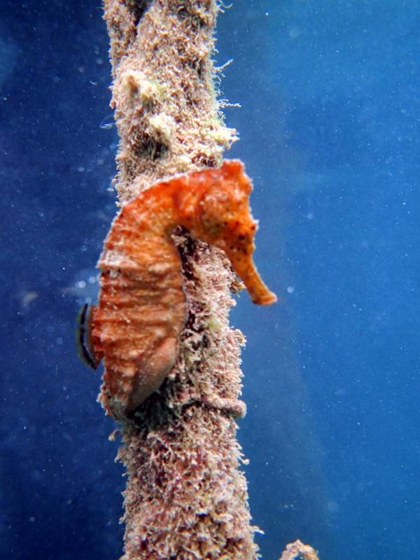 Swndy's Seahorse